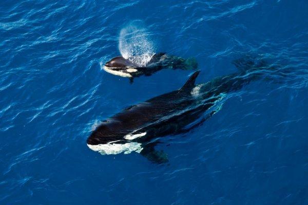 Orque et bébé orque