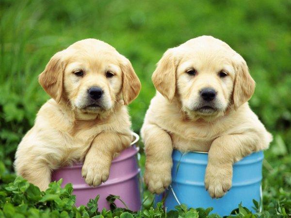 Deux chiots labrador