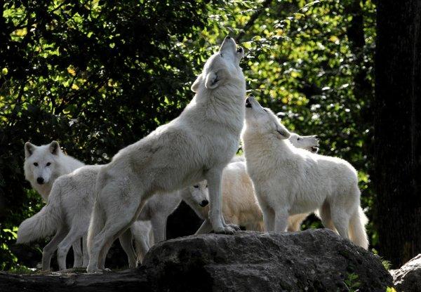 Une meute de loup qui chantent