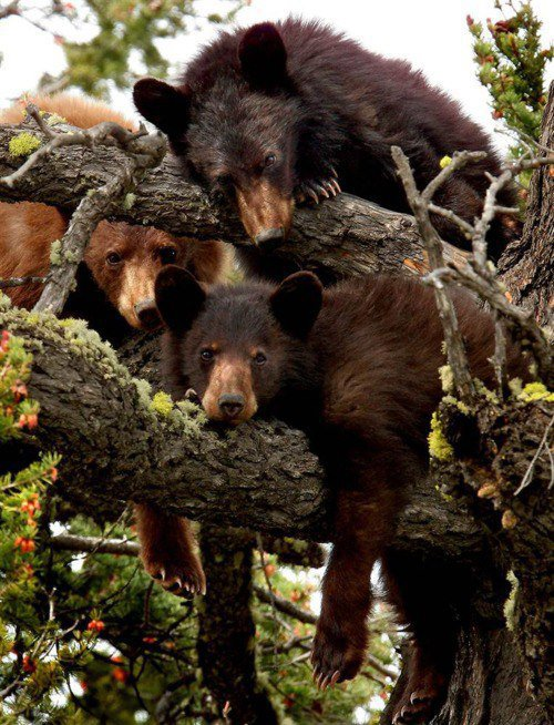 Des ours qui s'envoient en l'air