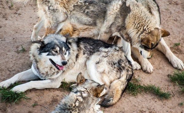 Que de beau loups