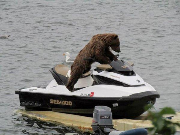 un ours qui fait du scooter des mer blog de animal27. Black Bedroom Furniture Sets. Home Design Ideas