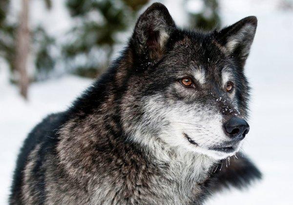 Un loup magnifique