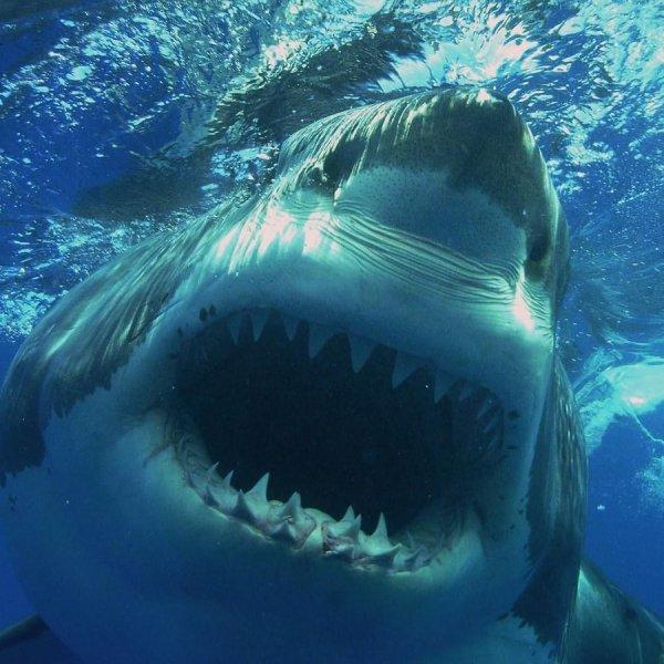 Un belle tête de requin