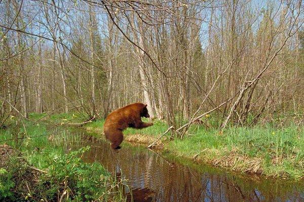 Un ours qui fait un plongeon