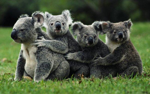 Des koalas