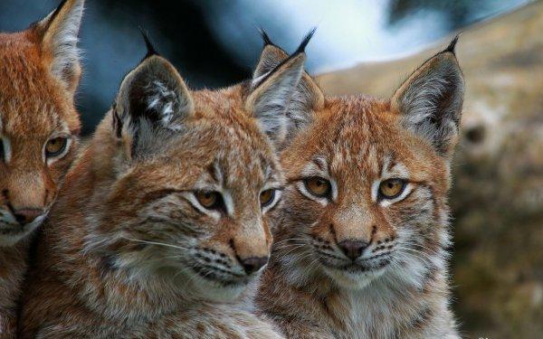 Des lynx magnifique