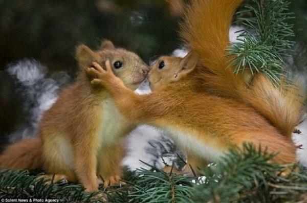 Un baiser esquimau entre écureuil