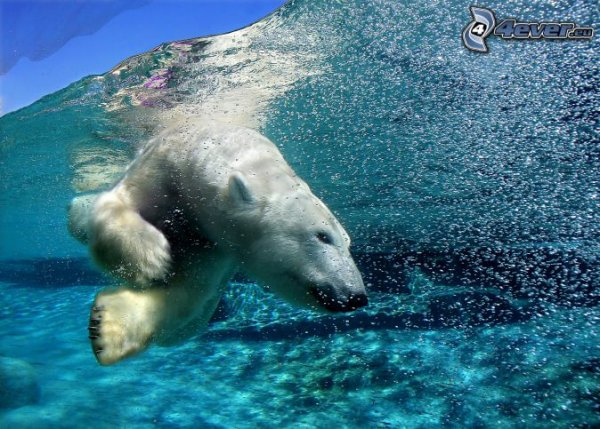 Un ours polaire sous l'eau