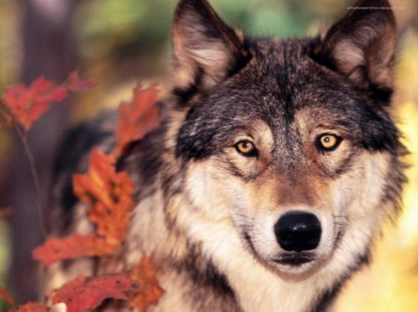 Un loup d'automne