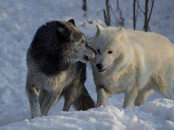 Un beau couple de loup