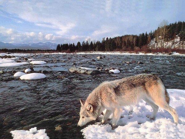 Un loup qui a soif