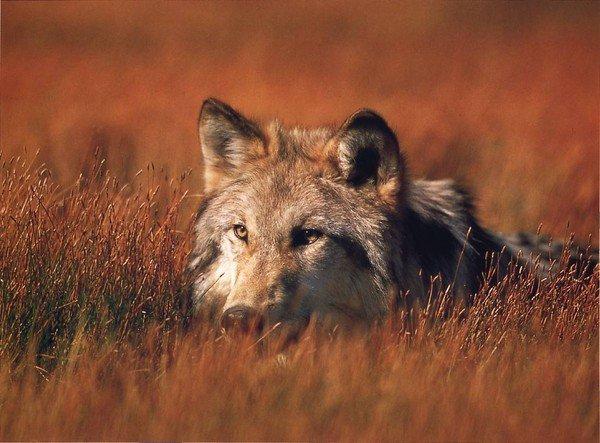 Un loup en observation
