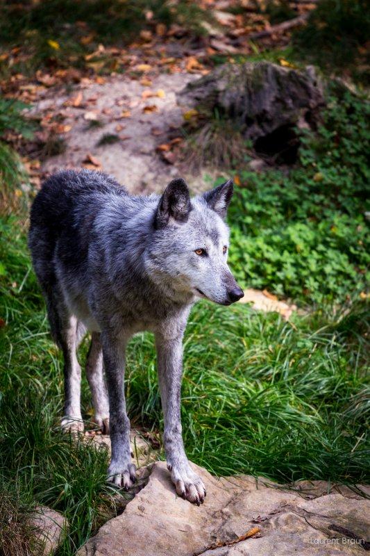 Un beau loup acte 2