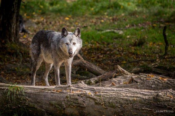 Un beau loup acte 3
