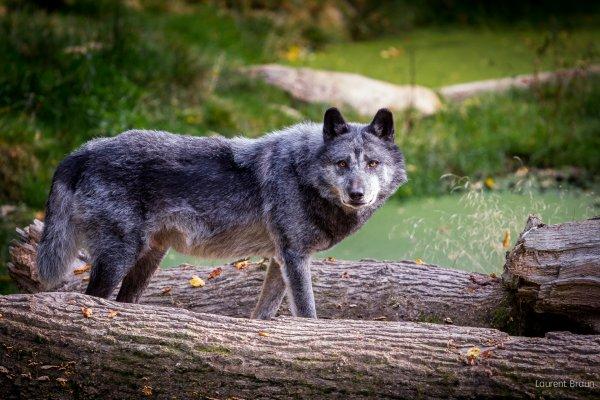 Un beau loup acte 4