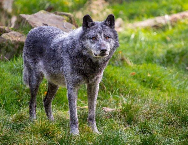 Un beau loup acte 5