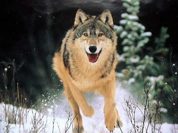Un loup qui fait la course