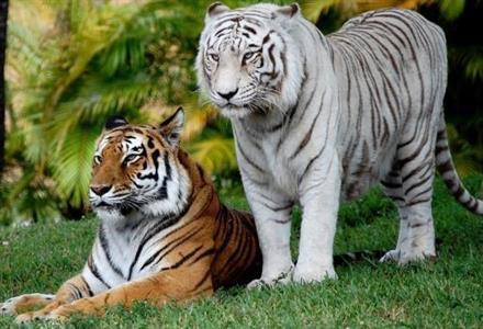 Deux beaux tigres