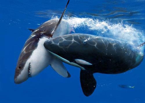 Orque contre requin