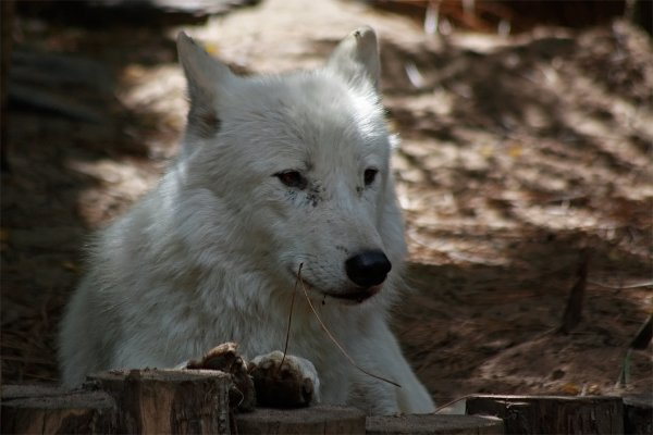 Des magnifiques loups acte 1