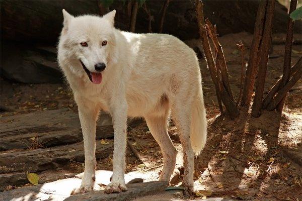 Des magnifiques loups acte 2