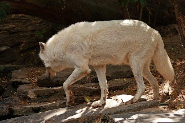 Des magnifiques loups acte 3
