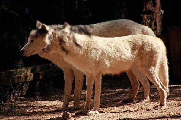 Des magnifiques loups acte 4