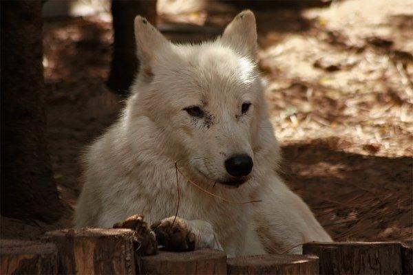 Des magnifiques loups acte 5
