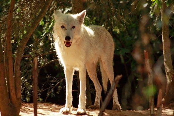 Des magnifiques loups acte 6