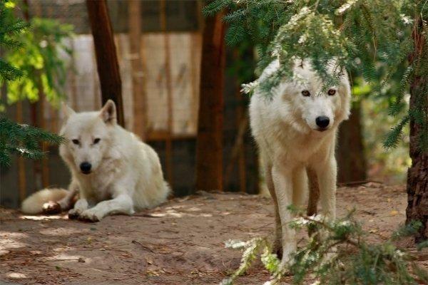 Des magnifiques loups acte 7