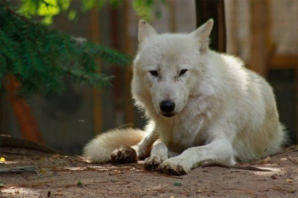 Des magnifiques loups acte 8