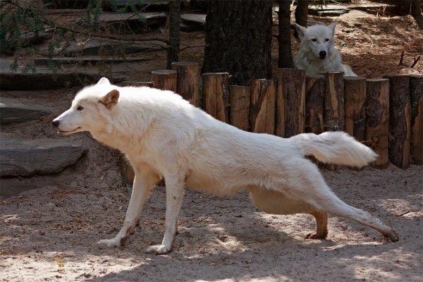 Des magnifiques loups acte 9