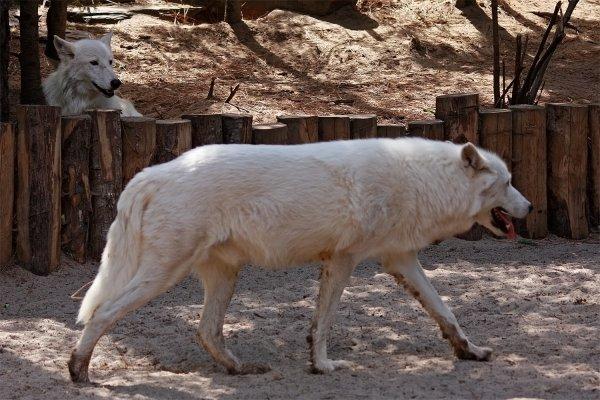Des magnifiques loups acte 10