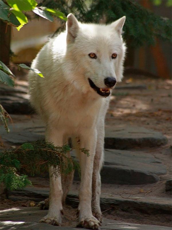 Des magnifiques loups acte 11