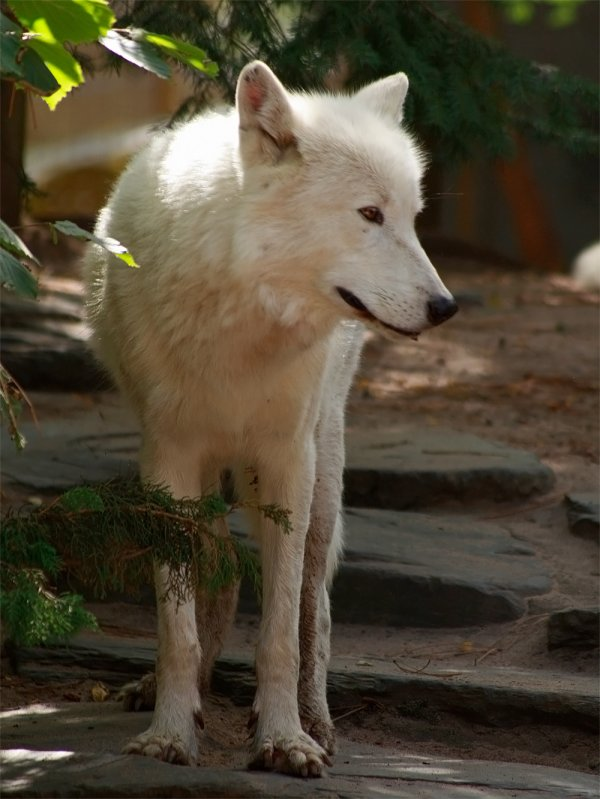 Des magnifiques loups acte 12