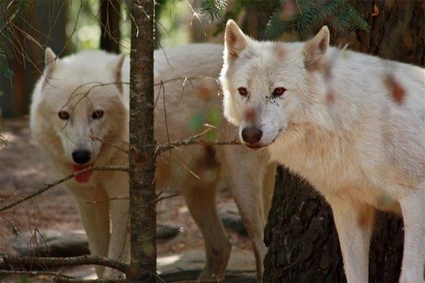 Des magnifiques loups acte 13