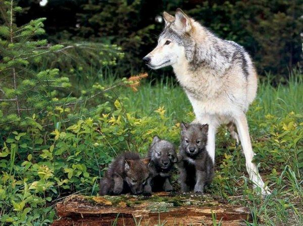 Une belle famille de loup
