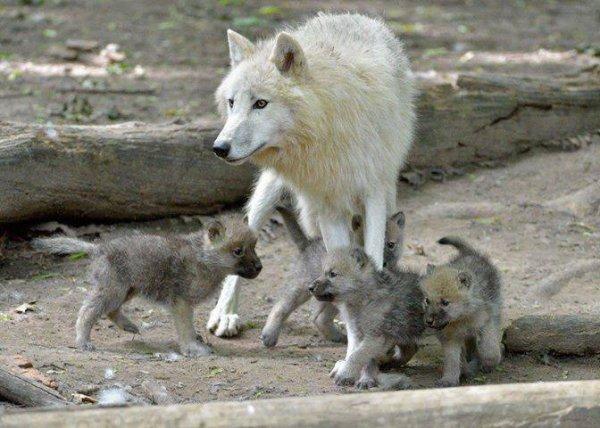 Une belle famille de loup acte 2