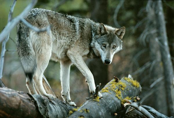 Un loup sur un tronc