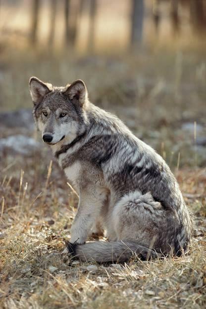 Un loup assis