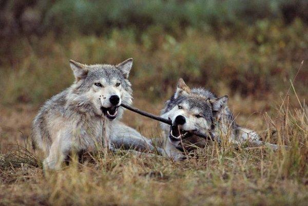 Deux loups avec leurs bâton