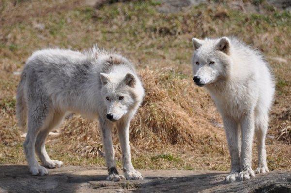 Deux beaux loups