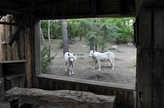Des loups par la fenêtre