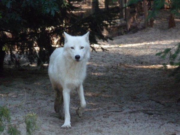 Un loup en chemin