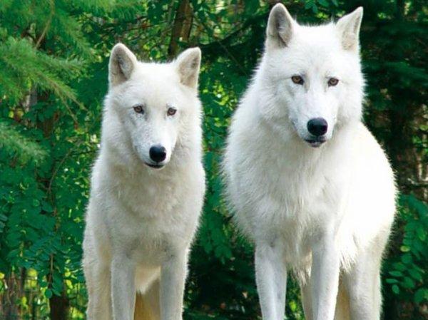 Des beaux loups dans un décor verdâtre