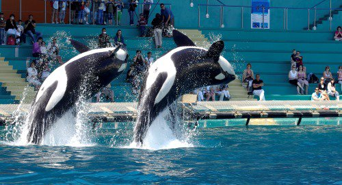 Les orques dans les parc aquatiques (1/22)