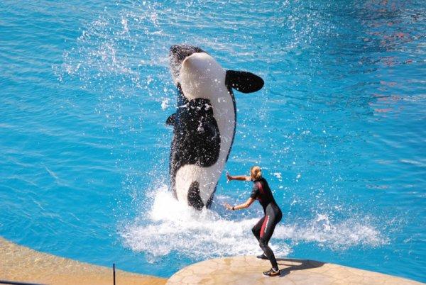 Les orques dans les parc aquatiques (2/22)