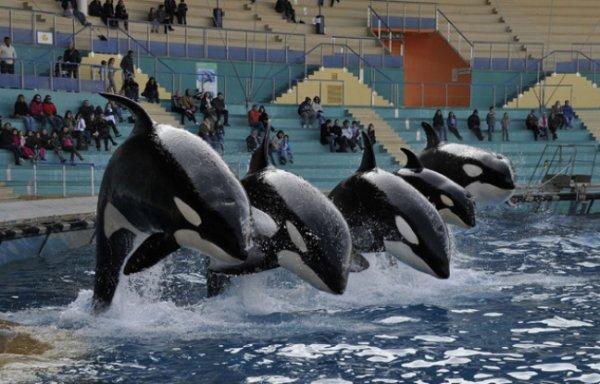 Les orques dans les parc aquatiques (3/22)