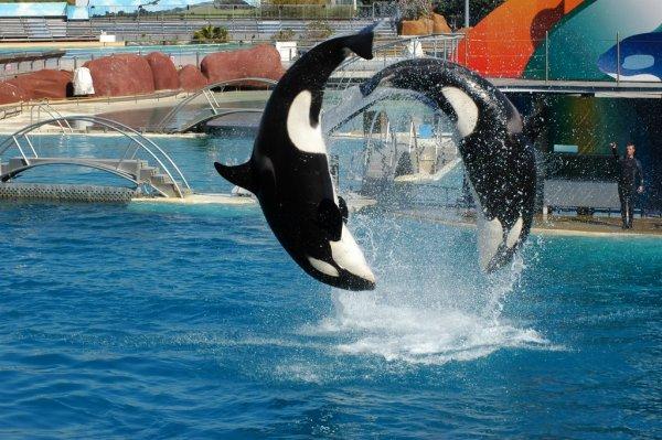 Les orques dans les parc aquatiques (6/22)